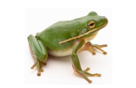 iconografía de ranas y sapos